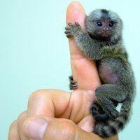 Baby Marmoset, I want one!!