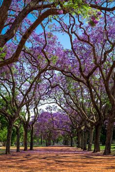 Jacaranda mimosifolia Ciudad Autónoma de Buenos Aires, Argentina There many tree-lined avenues in Buenos Aires city, a few feature a lot of Jacaranda t... - Olgica Spasovska - Google+ Colorful Trees, Blue Trees, Big Tree, Tree Forest, Pretty Photos, City Photography, Flowering Trees, Fruit Trees, Spring Green