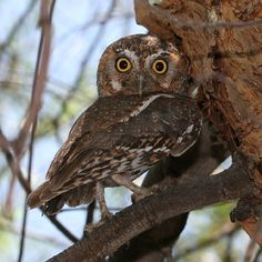 The Elf Owl is the world's smallest owl at approx. 5 inches tall. They can only eat insects and spiders.