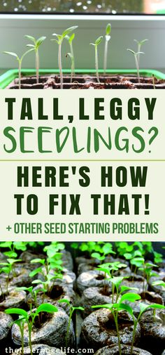 Having trouble starting seeds for your vegetable garden? Here's how to fix 4 common seed starting problems!   Vegetable Gardening   Organic Gardening   Homesteading   Gardening Tips