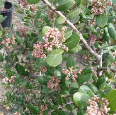 RHUS integrifolia | Evergreen Nursery
