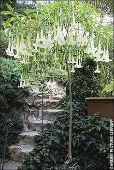 Moon Gardens:  Amazing white #Angel #Trumpets, #Brugmansia, for the #Moon #Garden.
