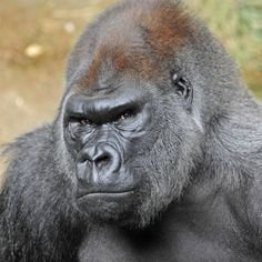 Learn about animals at the zoo like the Elephant. Preschool educational video for toddlers is a funny zoo animal sounds video where we will learn the animal of The Animals, Nature Animals, Funny Animals, Funny Pets, Primates, Mammals, Gorilla Tattoo, Silverback Gorilla Strength, Western Lowland Gorilla