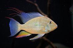 Peixes amazônicos ornamentais (manejo)  Nome genérico : Acará Amarelo  Nome científico : Acarichthys heckelii