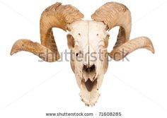 Animal Skull With Big Horn