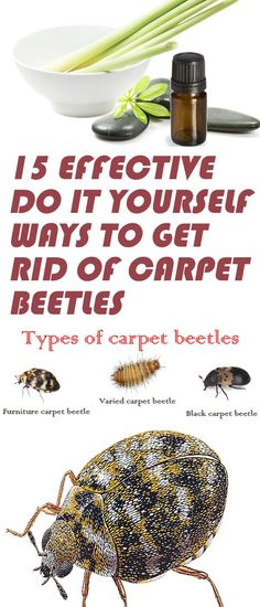 Carpet Beatle