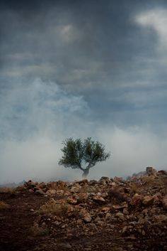 Olive Tree, Palestine -- symbol of peace in a land torn up by war