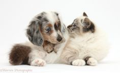 silver dapple winner dog | Birman Cat And Silver Double Dapple Dachshund Pup Lacy 8 Weeks Old ...