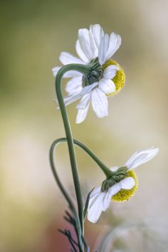 Chamomile by Mandy Disher