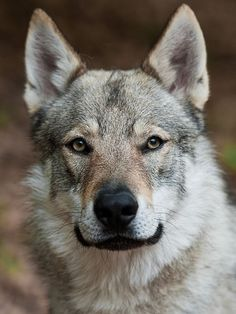 The Czechoslovakian Wolfdog are yellowish-gray to silver-gray, with a light mask and lighter shading on the underside of the neck and the chest. Dark gray with a lighter mask is also acceptable. Family Photos With Baby, Photos With Dog, Beautiful Creatures, Animals Beautiful, Cute Animals, Wild Animals, Baby Dogs, Dogs And Puppies, Czechoslovakian Wolfdog