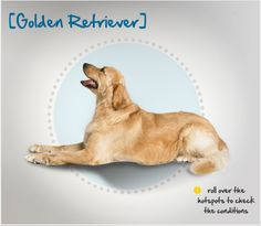 Did you know the Golden Retriever originated in the Scottish Highlands in the 1800s and was originally bred for hunting? Read more about this breed by visiting Petplan pet insurance's Condition Checker!