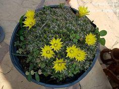 Mammillaria longimamma / Cactus sin fronteras / Manuel Licona