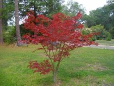Japanese Maple Care And Pruning – Tips For Japanese Maple Trimming         Japanese maples are spectacular landscape tree specimens that offer year-round color and interest. Some Japanese maples may only grow 6 to 8 feet, but others will achieve 40 feet or more. Pruning Japanese maples is rarely necessary in mature trees, if they have been trained when young.    The graceful skeleton of the tree is accented by light trimming over the first few years of