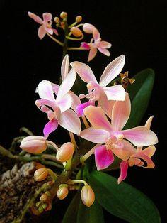 Orchid Phalaenopsis equestris