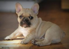 Beautiful Fawn Frenchie Pup - Love his cute wrinkles!!