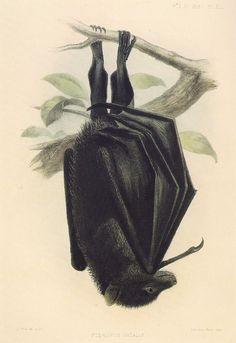 Pteropus natalis ~ J. Smit
