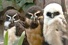 Three owls Pinned by www.myowlbarn.com