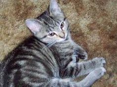 Gorgeous American shorthair kittens available