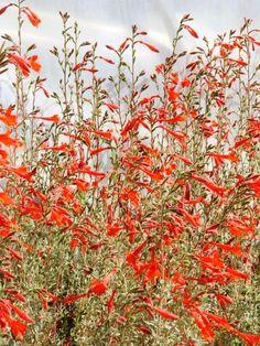California Fuschia (Epilobium Canum)