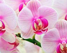 Как размножить орхидею?