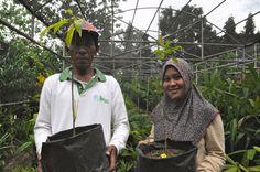 Macadamia hildebrandii yang coba dikembangkan di Sulawesi. Tempat hidup tanaman ini banyak berubah menjadi perkebunan dan tambang. Kini, sulit menemukan tanaman ini lagi. Foto: Eko Rusdianto