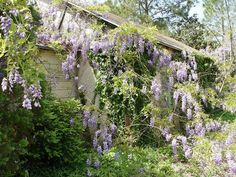 The farm house is almost gone but the wisteria planted long ago still blooms