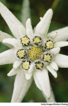 edelweiss definition: a small, flowering plant (Leontopodium alpinum) of the composite family, native to the high mountains of Europe and central Asia, esp. the Alps, with leaves and petal-like bracts that are white and woollyOrigin of edelweissGerman . Pansies, Daffodils, Wild Flowers, Beautiful Flowers, Edelweiss, Solomons Seal, Plant Art, White Gardens, Gras