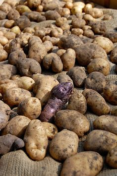 The Great Potato Harvest. 2013.Plus, how to store potatoes. | The Art of Doing Stuff
