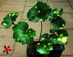 """Farfugium japonicum 'Aureomaculatum' """"Leopard Ligularia"""""""