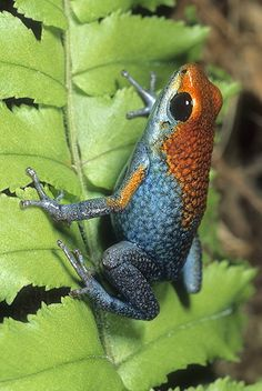 I love these colors together Granulated Poison Arrow Frog! Look a little like a Strawberry Poison Arrow frog:) Funny Frogs, Cute Frogs, Beautiful Creatures, Animals Beautiful, Cute Animals, Amazing Frog, Poison Dart Frogs, Frog And Toad, Reptiles And Amphibians