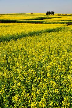 Sea of yellow - Rapeseed field, Luoping, Yunnan, China