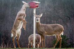 the not-so-rare deerbird