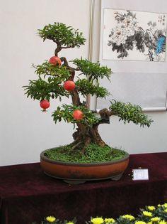 Bonsai pomegranate