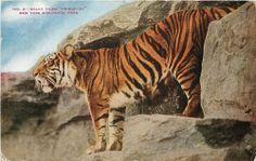 Malay Tiger New York Zoological Park Bronx Zoo Vintage Postcard circa 1910 (unused) Vintage Cards, Vintage Postcards, Panther Images, Princeton Tigers, Tribal Tiger, Bronx Zoo, Bath Art, Colourful Buildings, Tiger Tattoo