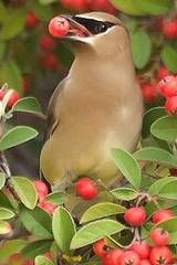 Fruit-bearing trees to attract birds .... these Cedar Waxwings show up at my house in Nov. and Dec. every year