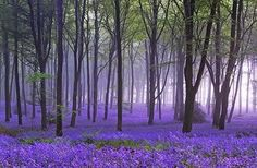 Bluebell Woods Bluebells are a sign of ancient forests. Since they outcompete other woodland plants when beneath dense shade, a large vibrant colony of bluebells indicates that the forest has stood for a long time. Magnificent bluebell displays are rare Beautiful World, Beautiful Places, Beautiful Pictures, Beautiful Forest, Nature Pictures, Peaceful Places, Magical Forest, Forest Fairy, Fairy Land