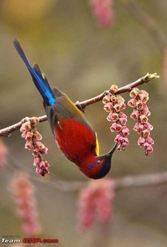Mrs. Gould's sunbird, is the old world counterpart of what a hummingbird is in the new world.