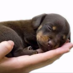 Sometimes I want another Rotty pup...only sometimes though :)