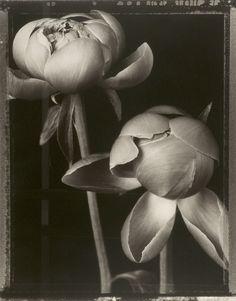 Tom Baril, Peony Buds, 1997 (from Botanica), Gelatin silver print