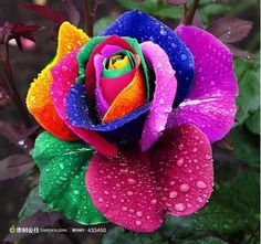 "Multi colored rose.  These ""rainbow roses"" were created by Dutch flower company owner Peter van de Werken, who produced them by developing a technique for injecting natural pigments into their stems while they are growing to create the striking multi-colored petal effect: Read more at http://www.snopes.com/photos/natural/rainbowroses.asp#DEBm877jWTljyCIo.99"