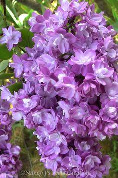 Purple Lilac Garden Wall Art  Nature Photography  Spring Home Decor Botanical Print Fine Art Photography Gift for Gardener