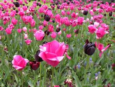 Pink and Black Tulips In Denmark.
