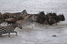 Wildebeest arrive at the Mara River in their tens of thousands, and gather waiting to cross. Eventually the wildebeest will choose a crossing point which cannot accurately be predicted. Usually the chosen point will be a quiet stretch of water without too many places for predators to hide on the far side, although occasionally they will choose seemingly suicidal places and drown in their hundreds. For luxury African safaris & holidays, email us on info@tasafaris.com