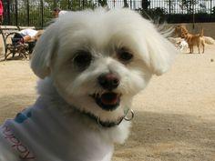Louis Da Maltese (aka Self-Claimed World's Happiest Dog)