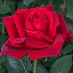 Rosier Jubilé PAPA MEILLAND ® Meiceazar Red Rose Flower, Red Flowers, Two Things Define You, Parfum Rose, Most Beautiful Flowers, Flower Aesthetic, Plantation, Blooming Flowers, Shade Garden