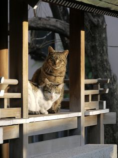 Cats at Hikawa shrine in Tokyo, Japan - you see a lot of these cats in japan.
