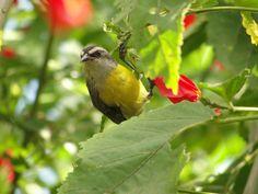 Cambacica --{ Birds }--
