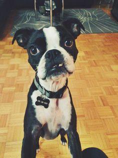 boston terrier - lil toofees.............LOL