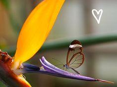 adoro FARM - asas de vidro