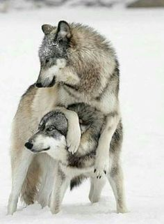 Gray Wolves More grey wolves, wolf, wolves Beautiful Creatures, Animals Beautiful, Cute Animals, Artic Animals, Wolf Love, Bad Wolf, Wolf Spirit, My Spirit Animal, Wolf Pictures